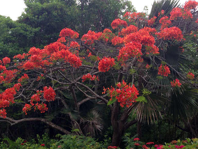 Orange Flamboyant Tree - St. John, USVI